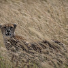 Cheetah in the Serengeti Grassland