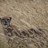 Cheetah in the Serengeti Grassland