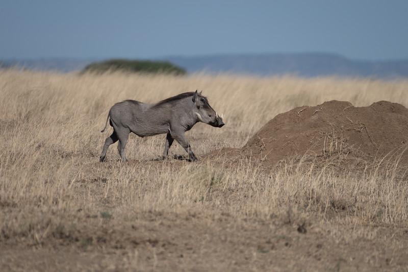 Warthog and termite mound