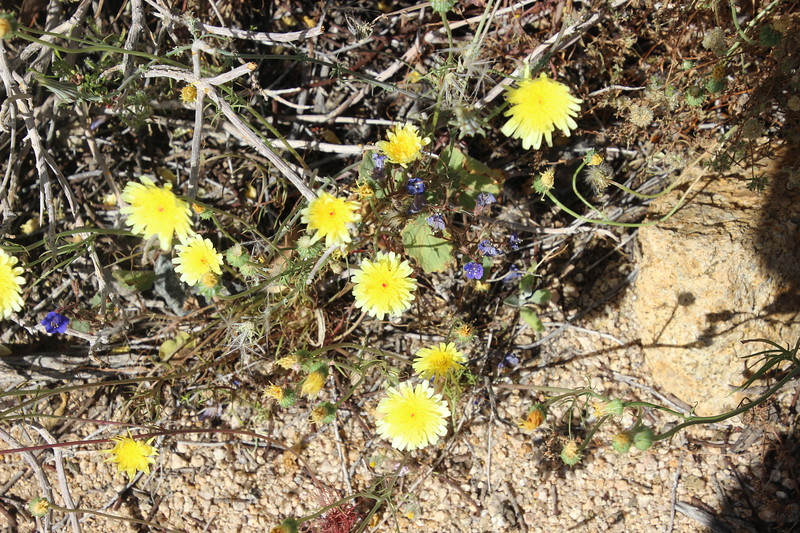 Desert Dandelions and  Blue Phacelia flowers