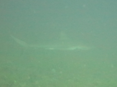 Reef shark in the distance in poor visability