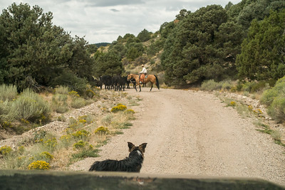 Cowboy sent a command to the dog to keep us put until the cattle were safe.