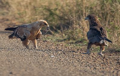 Tawny Eagle and Bateleur