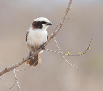 White-crownedShrike