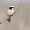 White-crownedShrike
