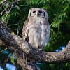 Verreaux's Eagle Owl (Kruger NP)