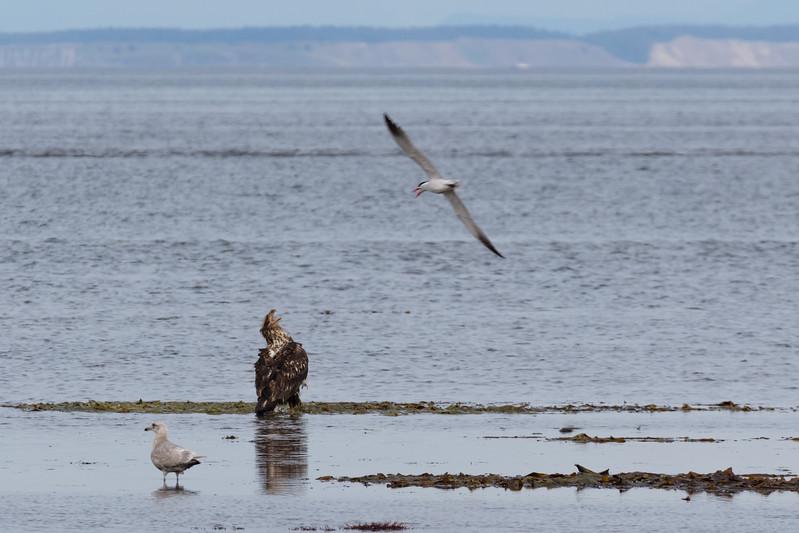 Juvenile Bald Eagle Defending his crabbing spot
