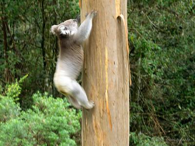 Scrambled up the nearest eucalyptus tree ...
