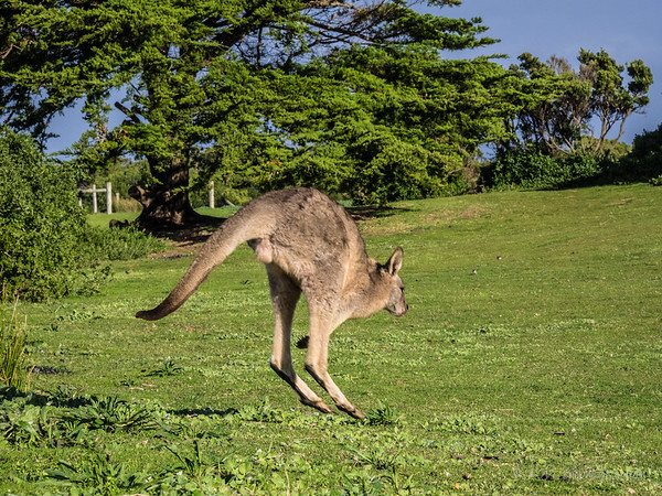 The Qantas mascot made an appearance