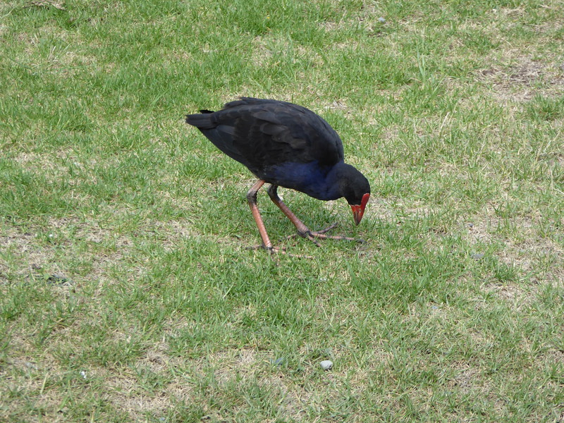 Pukeko seen at Whatipu Beach