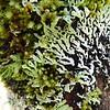 Lichen, Taranaki Falls Loop