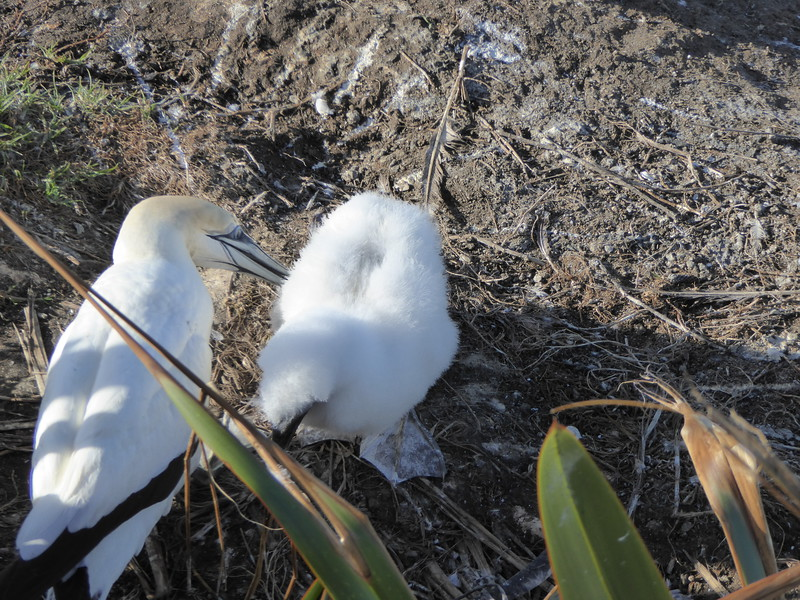 Gannet and chick at Murawai