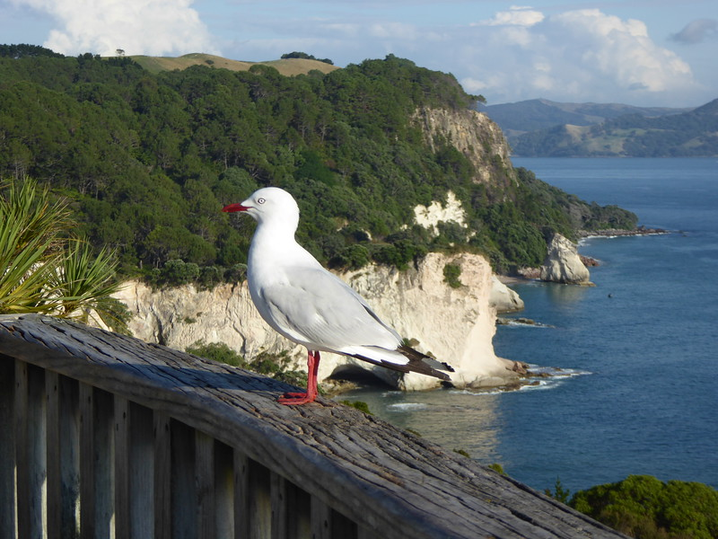 Gull at start of Cathedral Cove Track