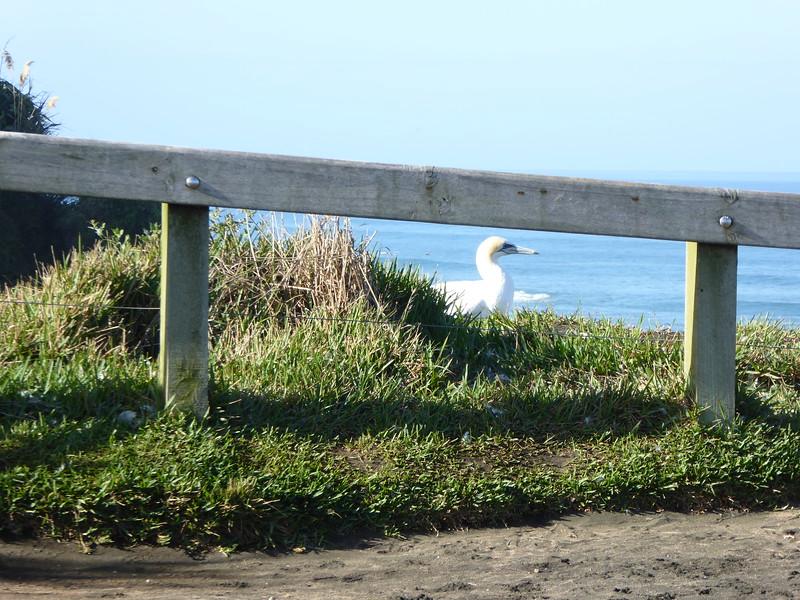 First sighting of a gannet at Murawai