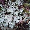 Lichen on trees at Mt Taranaki