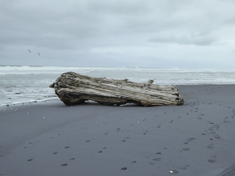 Petrified log at Awakino Heads