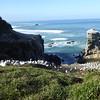Gannet colony at Murawai