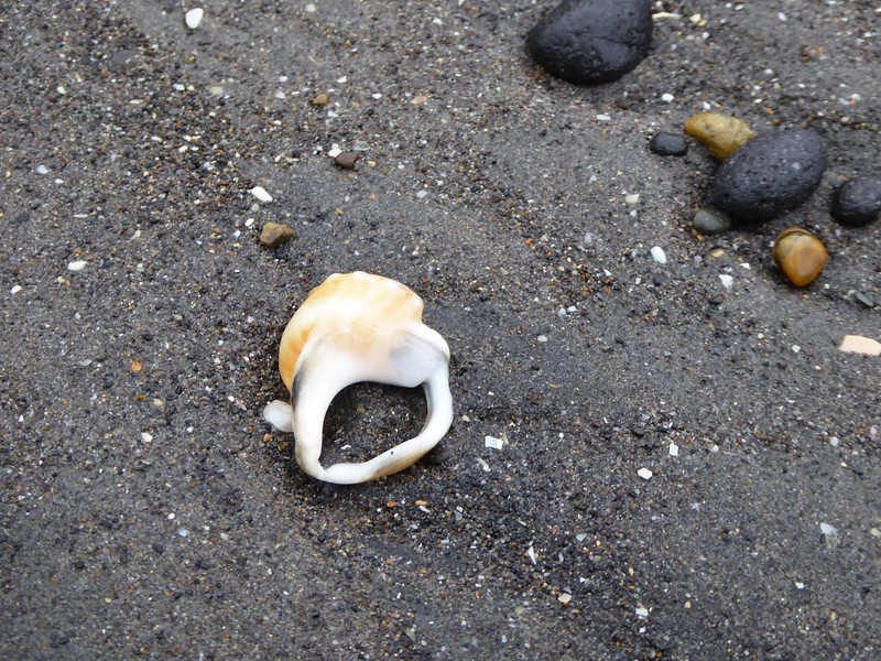 Shells on black sand of Tongaporutu