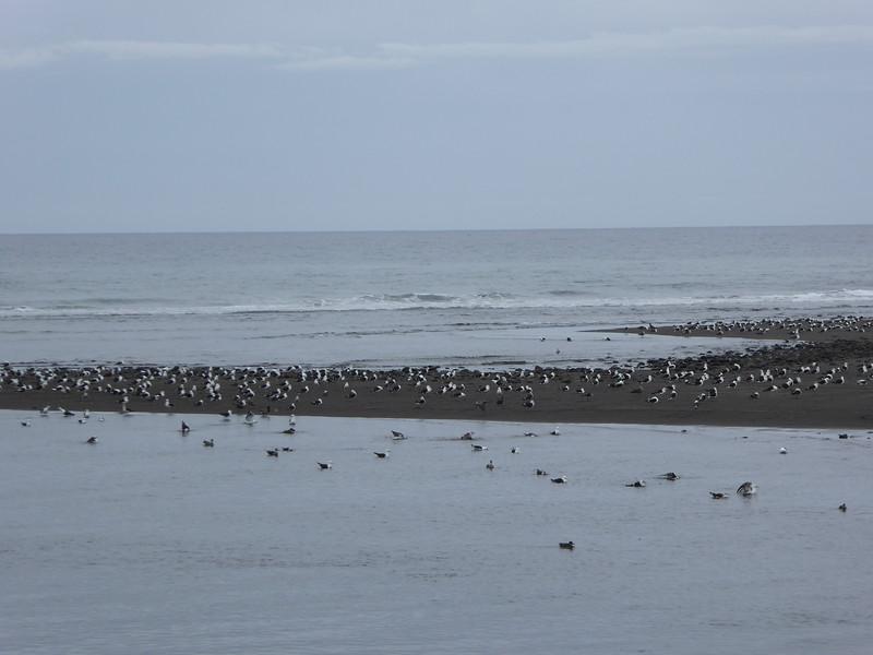 Hundres of shorebirds along the Coastal Walkway, New Plymouth