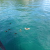Duck Family, Lake Taupo