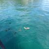 Duck Family, Lake Taupo