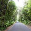 Tree tunnel drive to Dawson Falls Track