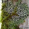 Lichen on tree on Taranaki Falls Loop