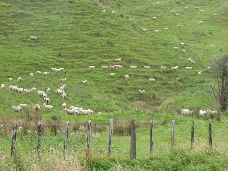 Sheep on hillside on way to Damper Falls