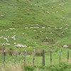 Sheep on hillside on way to Damper Falls