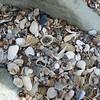 Zillions of shells at Opera Point