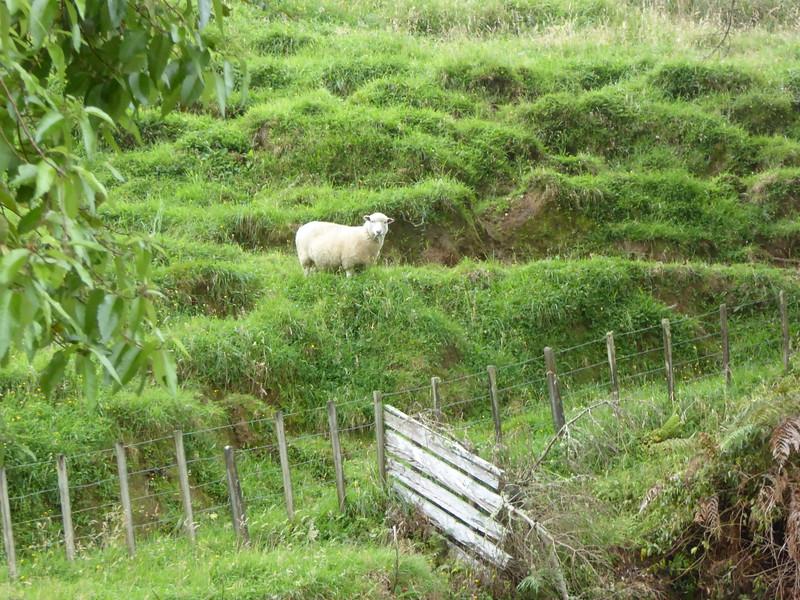 Sheep at Damper Falls