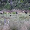 Stu's pigs on the 309