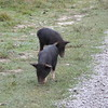 Piglets on the 309