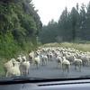 Video of sheep herd on Pipiriki Raetihi Rd.
