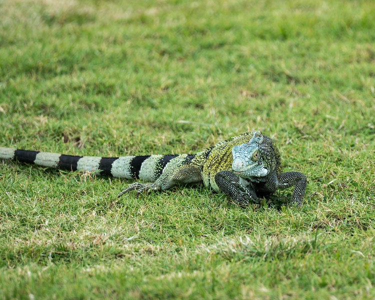 Iguanas in Curacao, Curacao