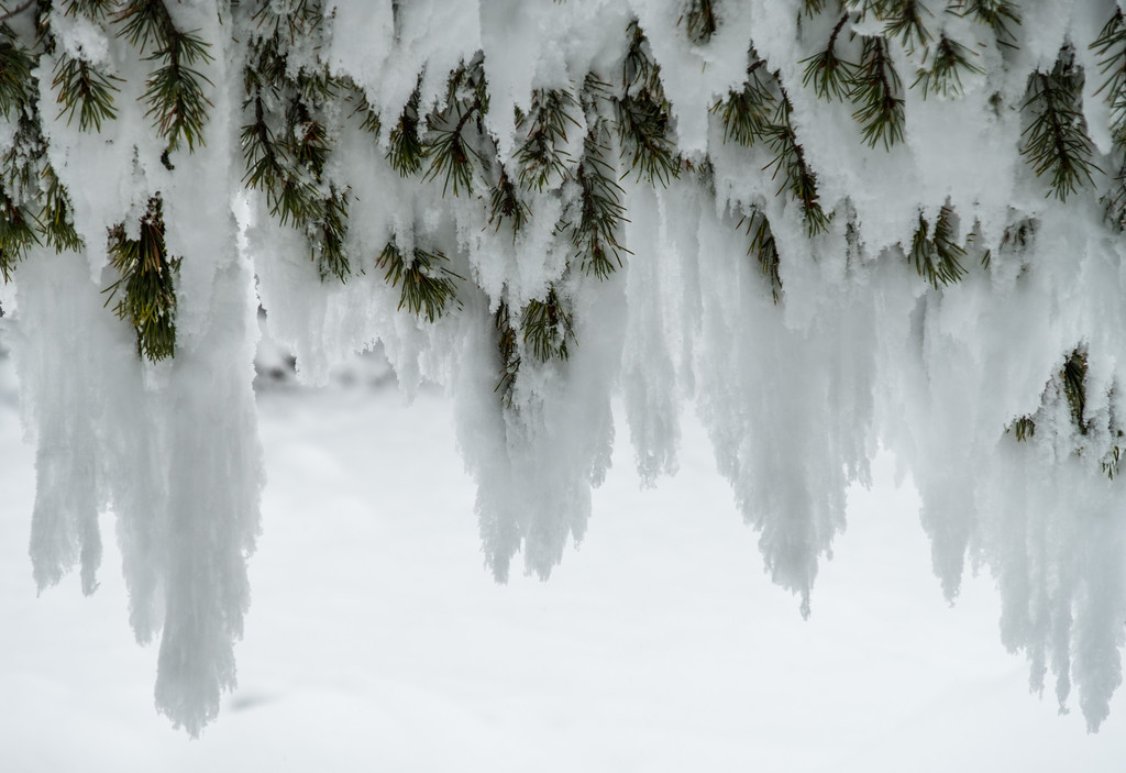 pine tree hoar