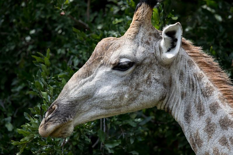 Giraffe Royal Livingstone hotel Zambia