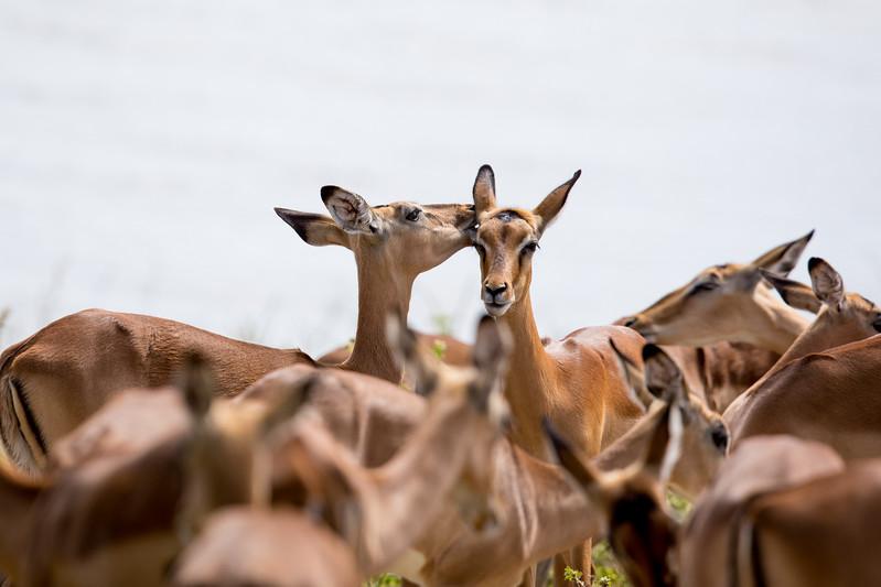 Impala Botswana Chobezi NP Canon 600mm