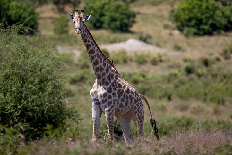 Giraffe Botswana Chobezi