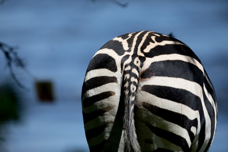 Zebra rear view Zambia