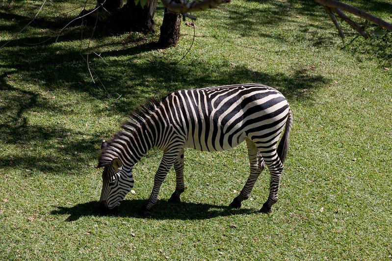 Zebra Royal Livingstone hotel Zambia