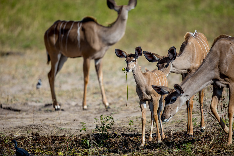 Kudu Botswana Chobezi