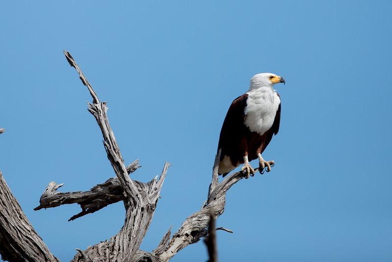 African fish eagle Botswana Chobezi Canon 600mm
