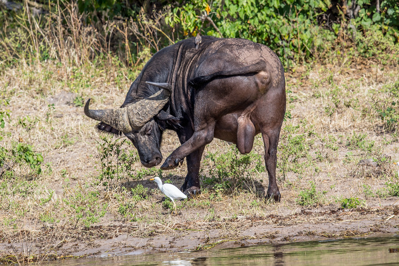 Buffalo Botswana Chobezi