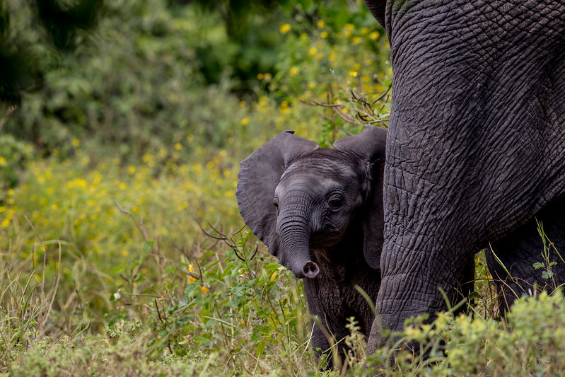 Elephant calf Botswana Chobezi NP