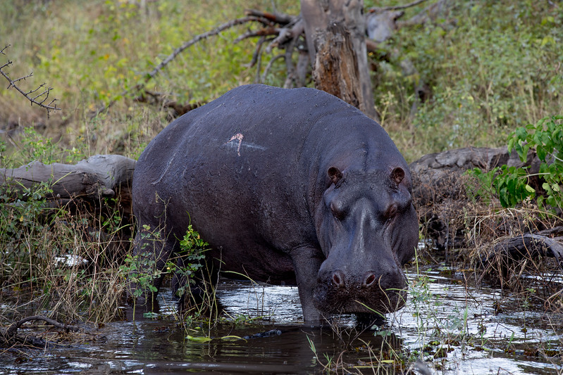 Hippo Botswana Chobezi