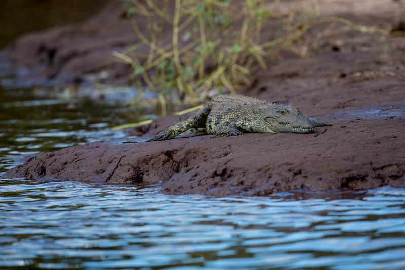 Botswana Chobezi crocodille