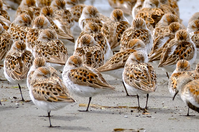 Shorebirds Resting