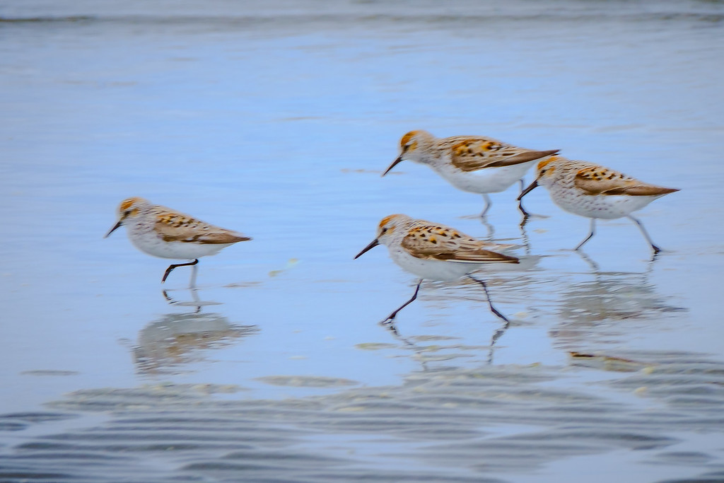Hurry, Hurry Sand Pipers
