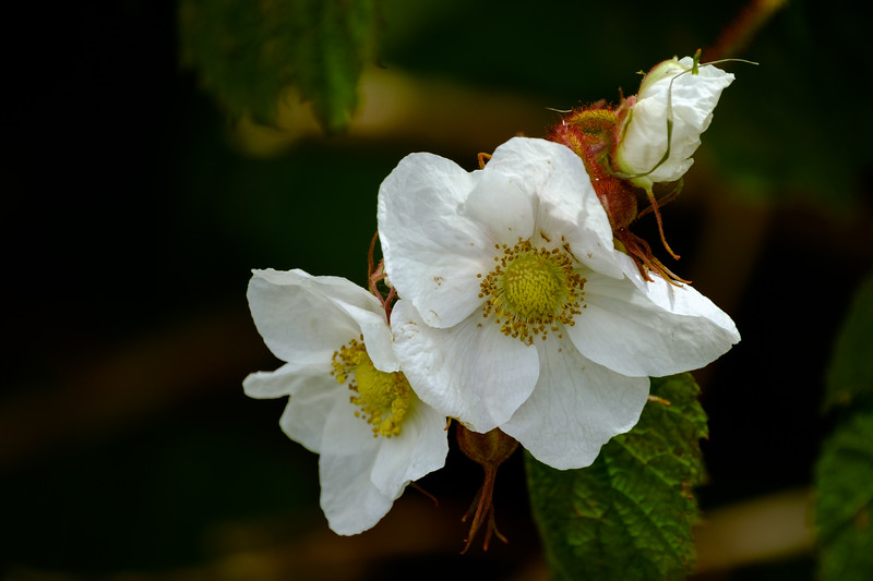 thimble Berry Blossoms